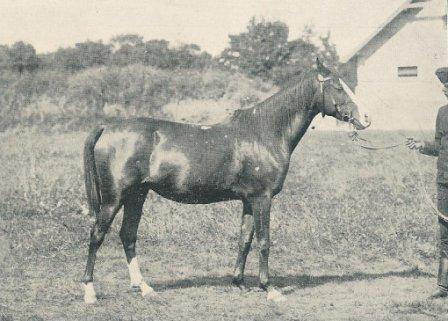 Stammstuten der Shagya-Araber Stuten-Familien: desert bred - Vollblutaraber Stute 1903 importiert