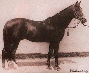 Kuhailan Zaid - Begründer der Shagya-Araber Hengstlinie Kuhailan Zaid