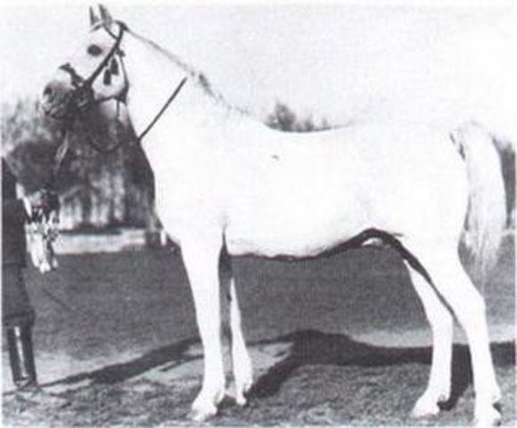 Shagya XVII - Vertreter der Shagya-Araber Hengstlinie Shagya