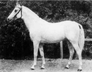 berühmter Vertreter der Shagyas: Shagya X, geb 1899 in Radautz