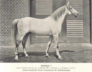 Ursprung der Koheilans: Koheilan I ox geb 1888 in Bábolna, sorgte bei der Weltaustellung in Paris 1900 für Aufsehen